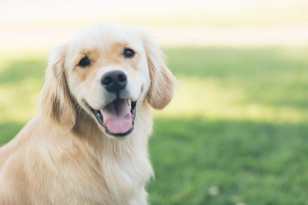Labrador-qui-sourit