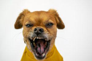 chien-agressif